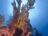 Diving the coral reefs of PulauTioman Island, Malaysia